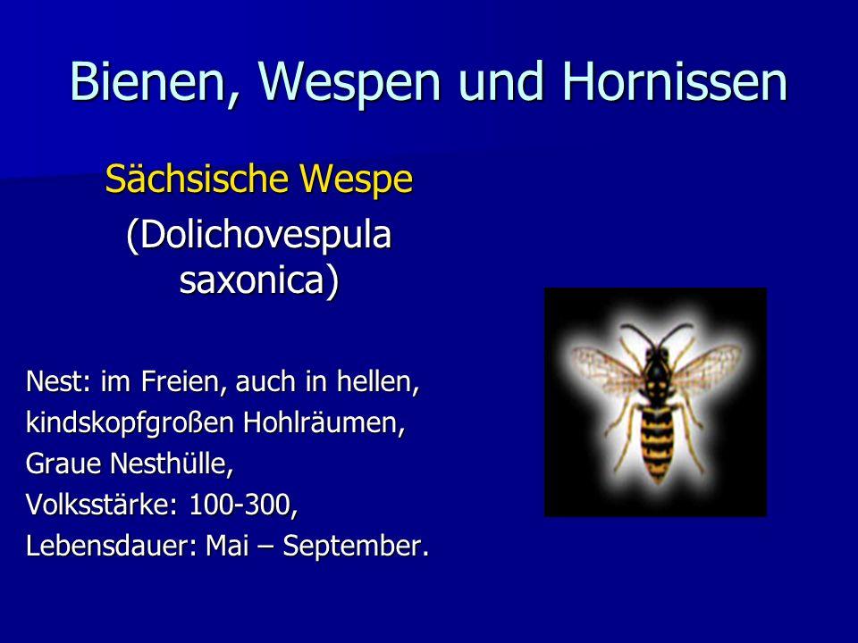 Bienen, Wespen und Hornissen Sächsische Wespe (Dolichovespula saxonica) Nest: im Freien, auch in hellen, kindskopfgroßen Hohlräumen, Graue Nesthülle,