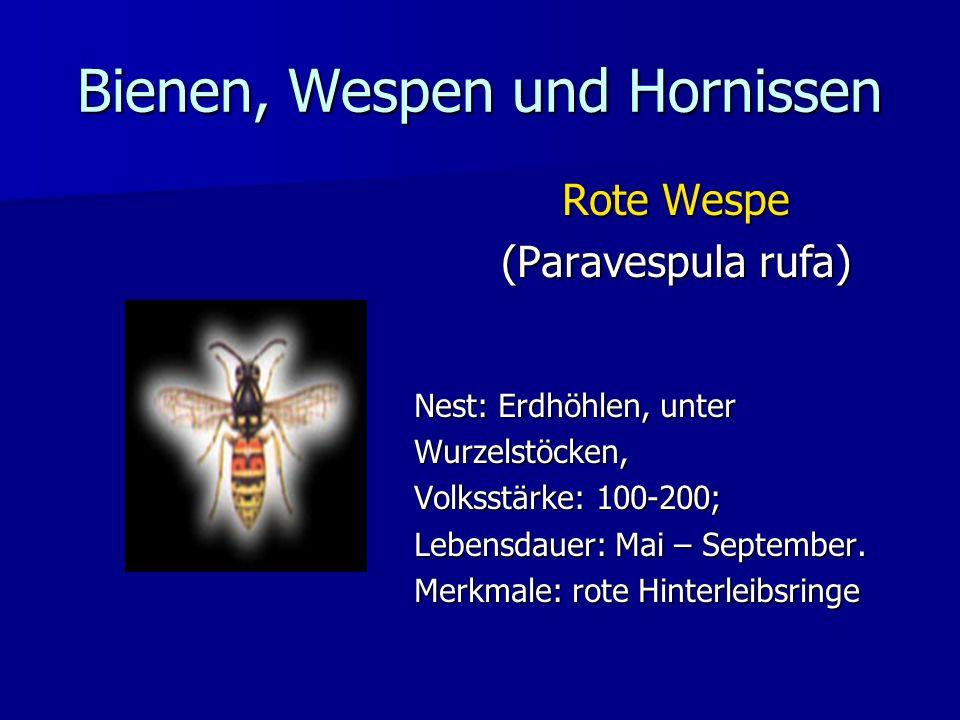 Bienen, Wespen und Hornissen Rote Wespe (Paravespula rufa) (Paravespula rufa) Nest: Erdhöhlen, unter Wurzelstöcken, Volksstärke: 100-200; Lebensdauer: