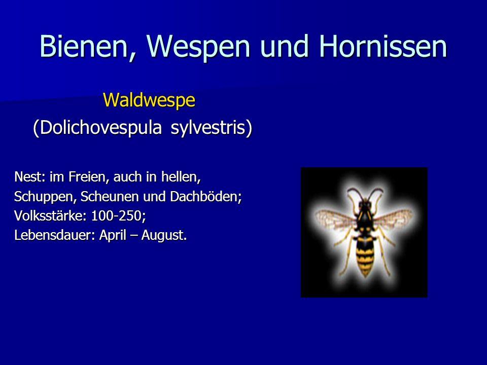 Bienen, Wespen und Hornissen Waldwespe (Dolichovespula sylvestris) Nest: im Freien, auch in hellen, Schuppen, Scheunen und Dachböden; Volksstärke: 100