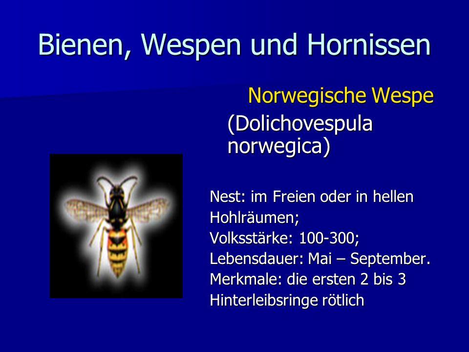 Bienen, Wespen und Hornissen Norwegische Wespe (Dolichovespula norwegica) Nest: im Freien oder in hellen Hohlräumen; Volksstärke: 100-300; Lebensdauer