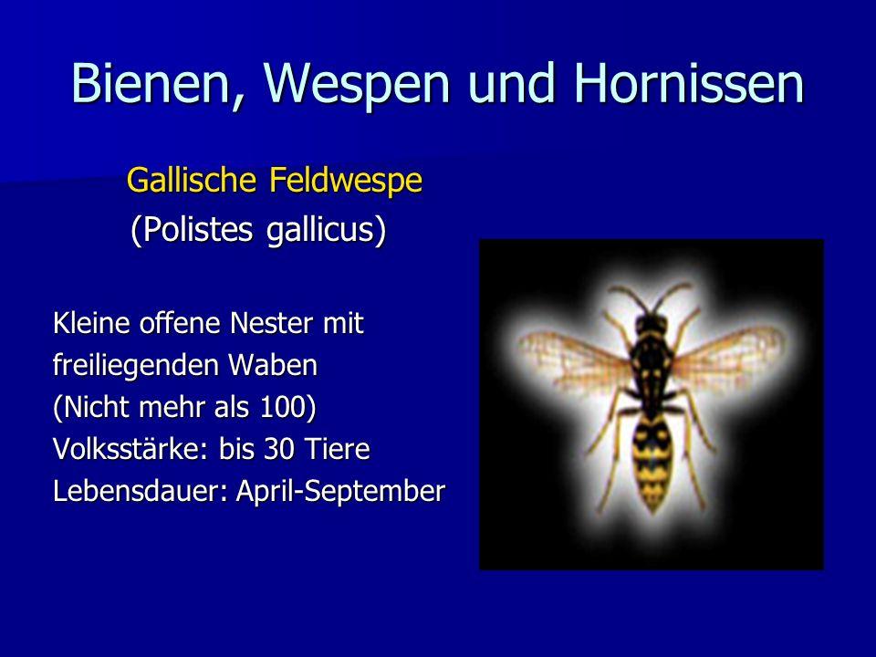 Bienen, Wespen und Hornissen Gallische Feldwespe (Polistes gallicus) Kleine offene Nester mit freiliegenden Waben (Nicht mehr als 100) Volksstärke: bi