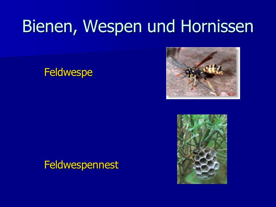 Bienen, Wespen und Hornissen FeldwespeFeldwespennest