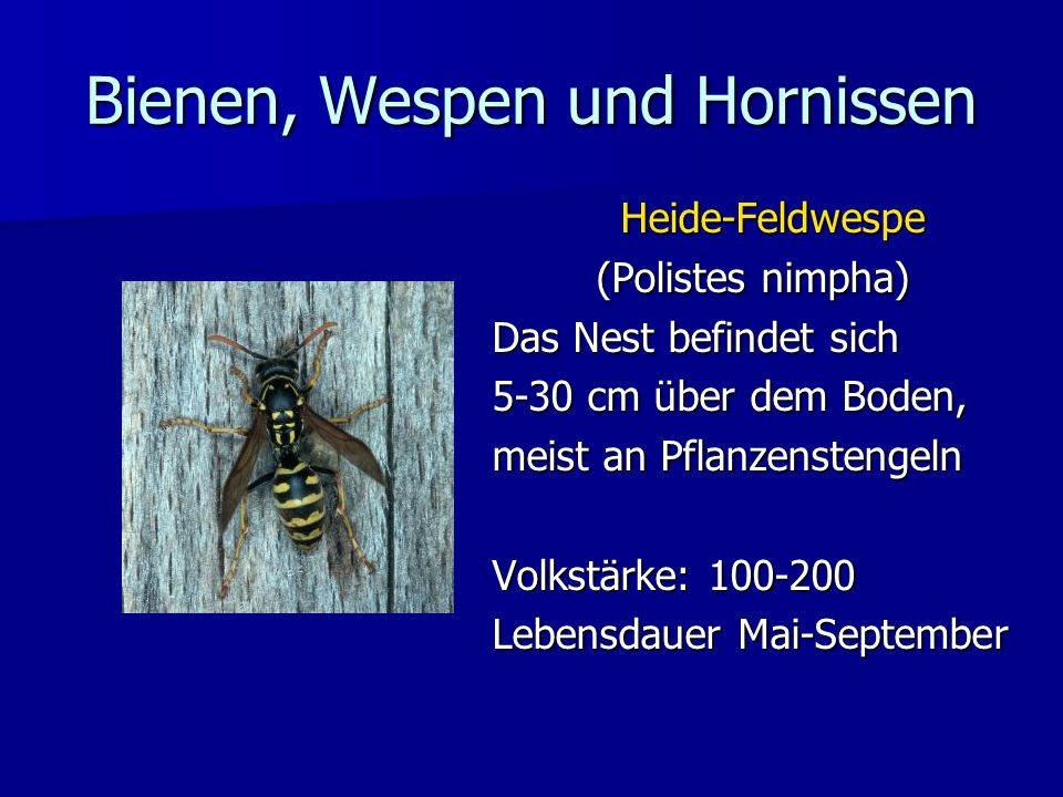 Heide-Feldwespe (Polistes nimpha) Das Nest befindet sich 5-30 cm über dem Boden, meist an Pflanzenstengeln Volkstärke: 100-200 Lebensdauer Mai-Septemb