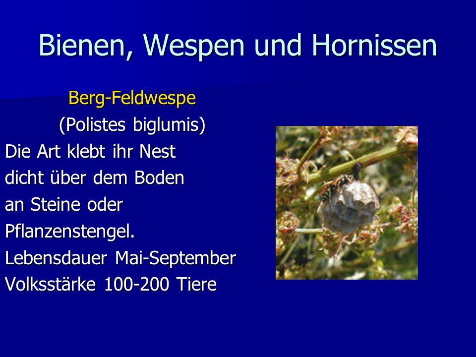 Bienen, Wespen und Hornissen Berg-Feldwespe (Polistes biglumis) Die Art klebt ihr Nest dicht über dem Boden an Steine oder Pflanzenstengel. Lebensdaue