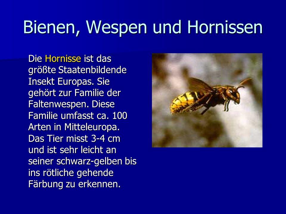 Bienen, Wespen und Hornissen Die Hornisse ist das größte Staatenbildende Insekt Europas. Sie gehört zur Familie der Faltenwespen. Diese Familie umfass