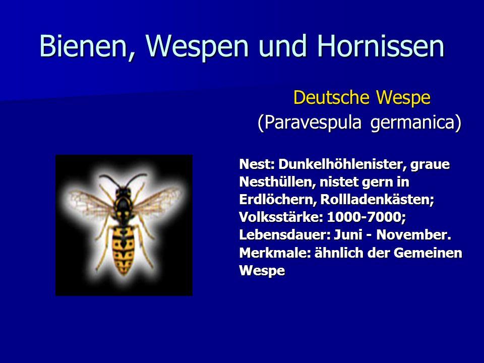 Bienen, Wespen und Hornissen Deutsche Wespe (Paravespula germanica) Nest: Dunkelhöhlenister, graue Nesthüllen, nistet gern in Erdlöchern, Rollladenkäs