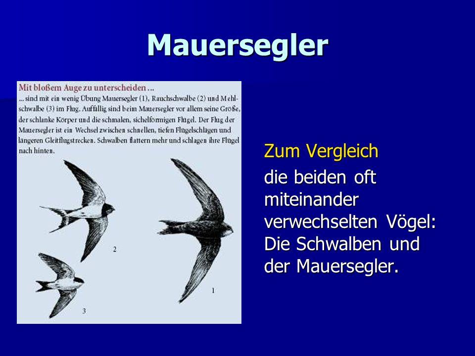 Mauersegler Zum Vergleich die beiden oft miteinander verwechselten Vögel: Die Schwalben und der Mauersegler.