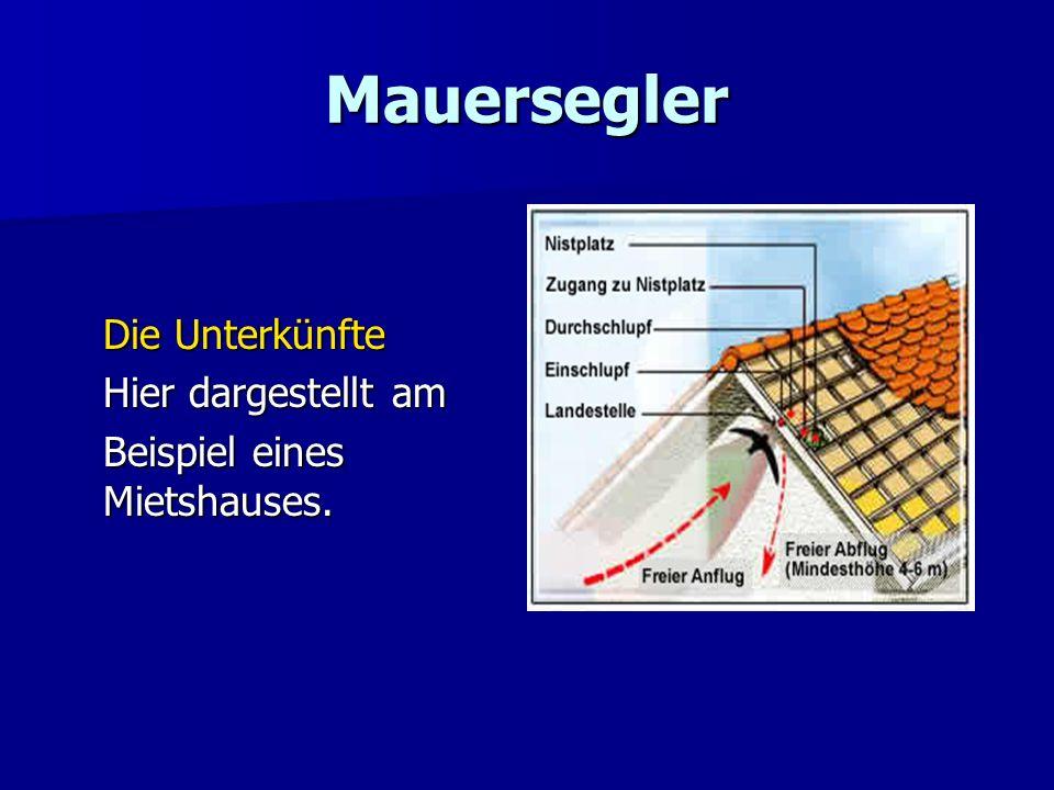 Mauersegler Die Unterkünfte Hier dargestellt am Beispiel eines Mietshauses.