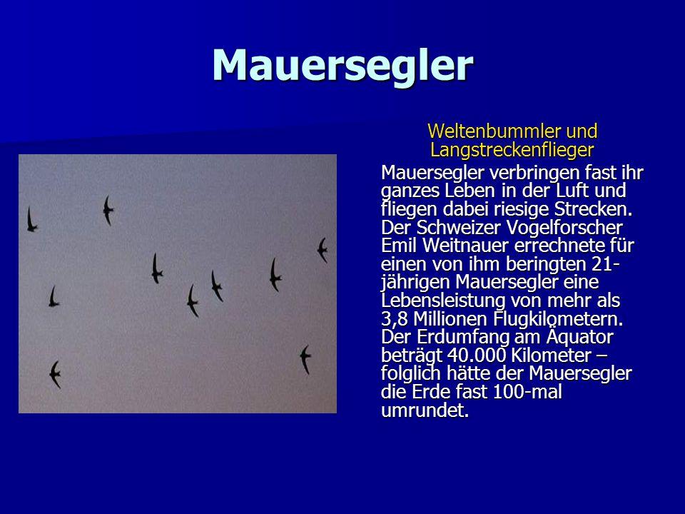 Mauersegler Weltenbummler und Langstreckenflieger Mauersegler verbringen fast ihr ganzes Leben in der Luft und fliegen dabei riesige Strecken. Der Sch