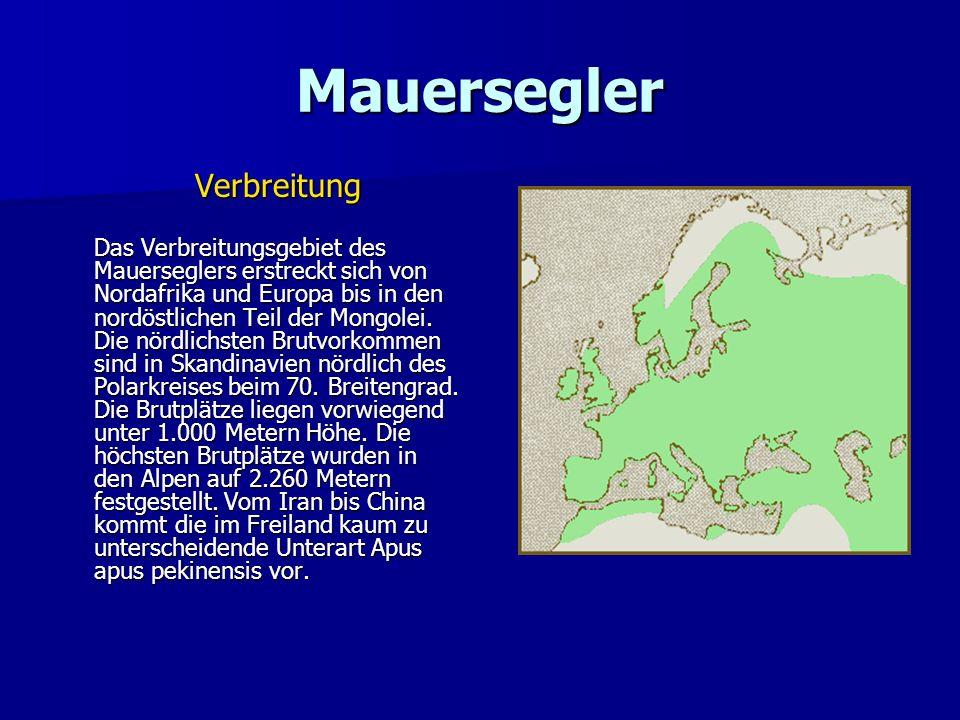 Mauersegler Verbreitung Das Verbreitungsgebiet des Mauerseglers erstreckt sich von Nordafrika und Europa bis in den nordöstlichen Teil der Mongolei. D