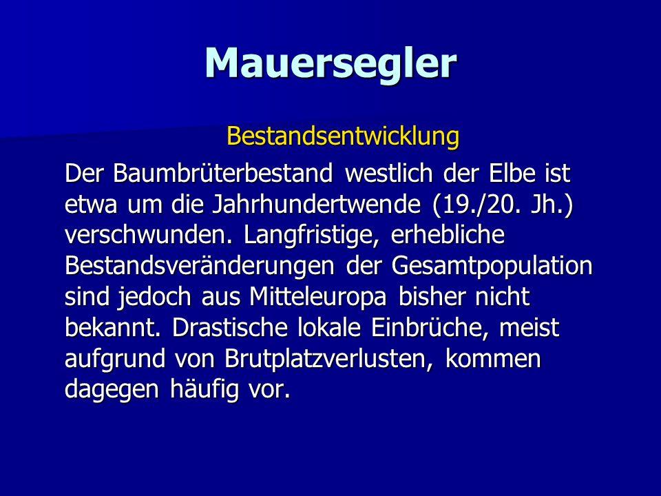 Mauersegler Bestandsentwicklung Der Baumbrüterbestand westlich der Elbe ist etwa um die Jahrhundertwende (19./20. Jh.) verschwunden. Langfristige, erh