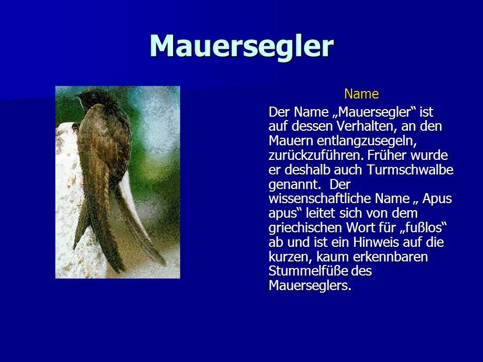 Mauersegler Der Mauersegler gehört zur Familie der Eigentlichen Segler (Apodidae), zu der in Deutschland nur eine weitere Art zählt: der Alpensegler, der nur in der Gegend von Freiburg im Breisgau brütet.