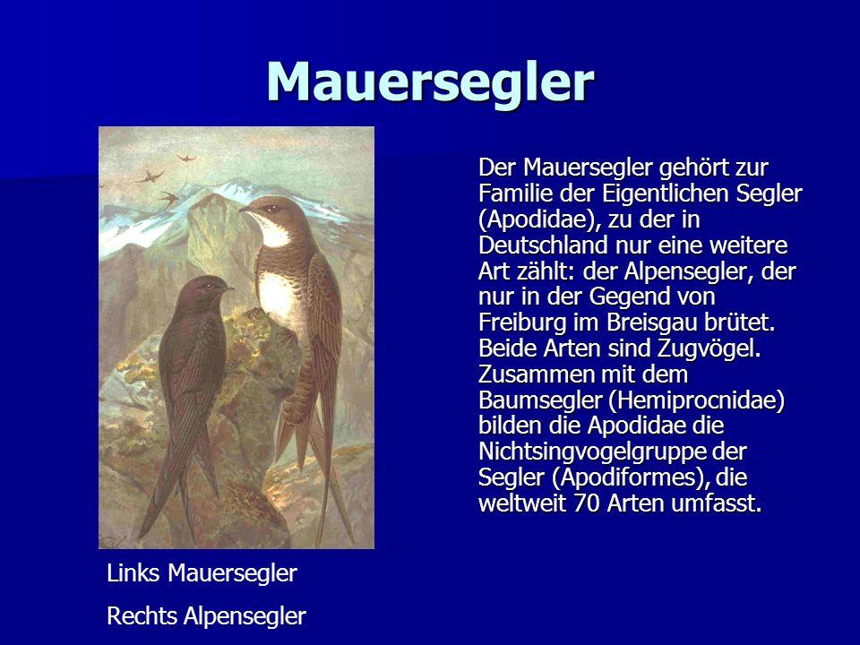 Mauersegler Der Mauersegler gehört zur Familie der Eigentlichen Segler (Apodidae), zu der in Deutschland nur eine weitere Art zählt: der Alpensegler,