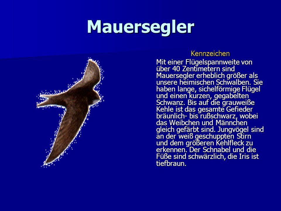 Mauersegler Kennzeichen Mit einer Flügelspannweite von über 40 Zentimetern sind Mauersegler erheblich größer als unsere heimischen Schwalben. Sie habe