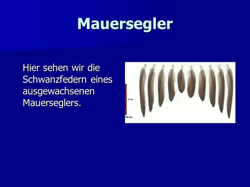 Mauersegler Dies sind die Federn aus dem linken Flügel des Dauerfliegers