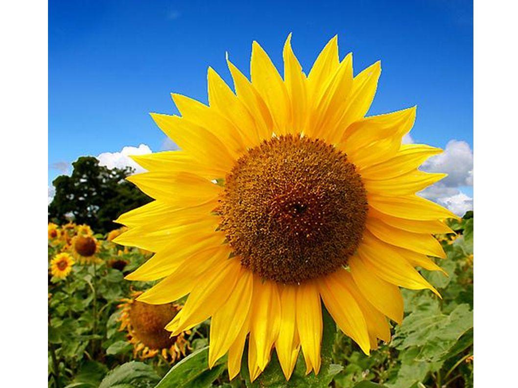 Blumen sind oft gelb.