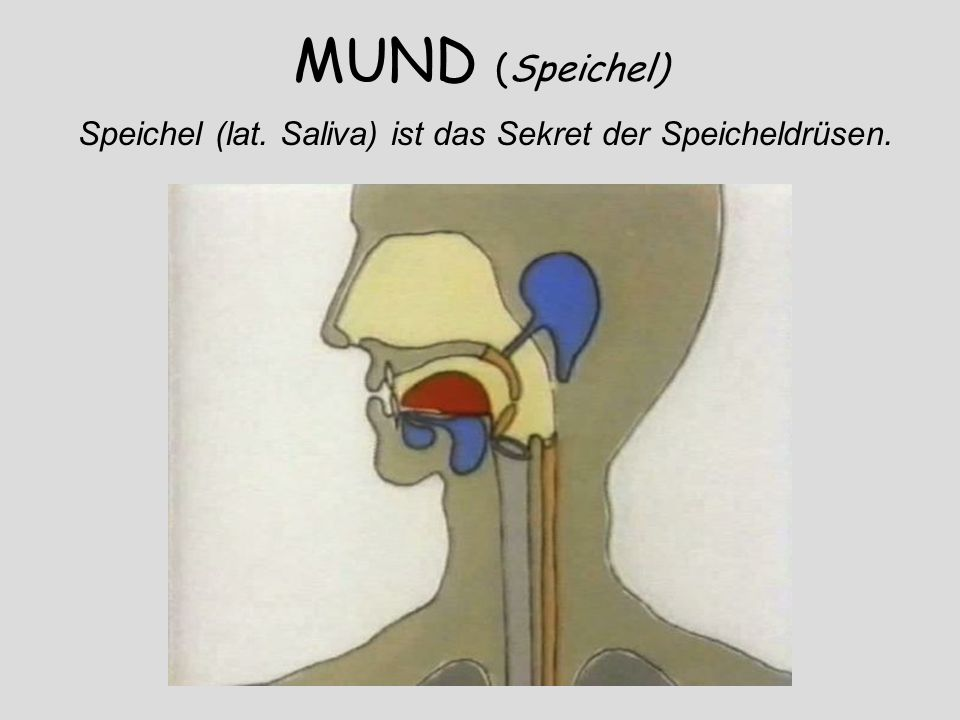 Der Speichel wird im Mund von den kleinen Speicheldrüsen, die sich in der Mundschleimhaut befinden, und den großen Speicheldrüsen, Glandula parotis (Ohrspeicheldrüse), Glandula submandibularis (Unterkieferdrüse) und Glandula sublingualis (Unterzungendrüse), gebildet.