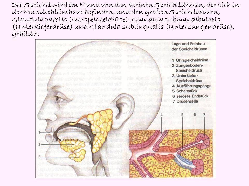 Der Speichel wird im Mund von den kleinen Speicheldrüsen, die sich in der Mundschleimhaut befinden, und den großen Speicheldrüsen, Glandula parotis (O