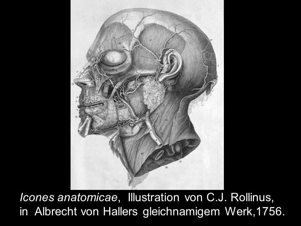 Hallers Laserkraut (Laserpitium halleri) Kupferstich von C.F. Fritsch.