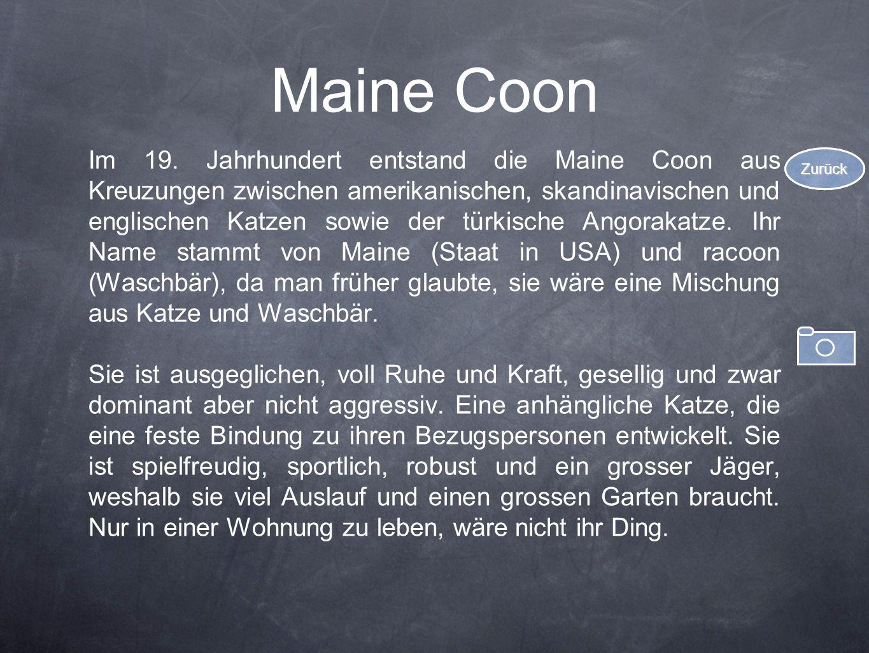 Maine Coon Im 19. Jahrhundert entstand die Maine Coon aus Kreuzungen zwischen amerikanischen, skandinavischen und englischen Katzen sowie der türkisch