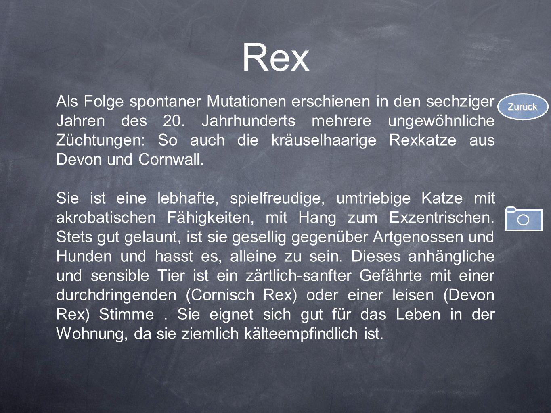 Rex Als Folge spontaner Mutationen erschienen in den sechziger Jahren des 20. Jahrhunderts mehrere ungewöhnliche Züchtungen: So auch die kräuselhaarig