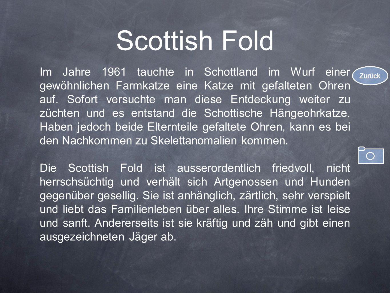 Scottish Fold Im Jahre 1961 tauchte in Schottland im Wurf einer gewöhnlichen Farmkatze eine Katze mit gefalteten Ohren auf. Sofort versuchte man diese