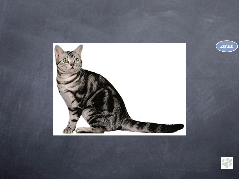 Scottish Fold Im Jahre 1961 tauchte in Schottland im Wurf einer gewöhnlichen Farmkatze eine Katze mit gefalteten Ohren auf.