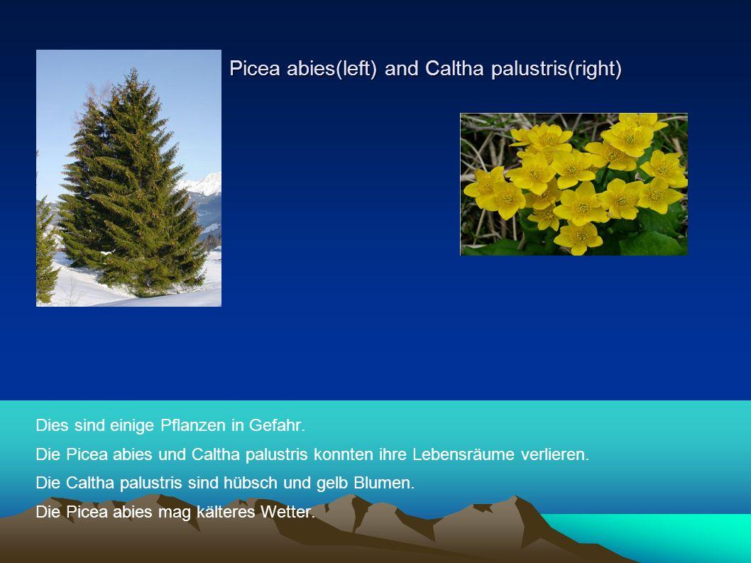 Picea abies(left) and Caltha palustris(right) Picea abies(left) and Caltha palustris(right) Dies sind einige Pflanzen in Gefahr.
