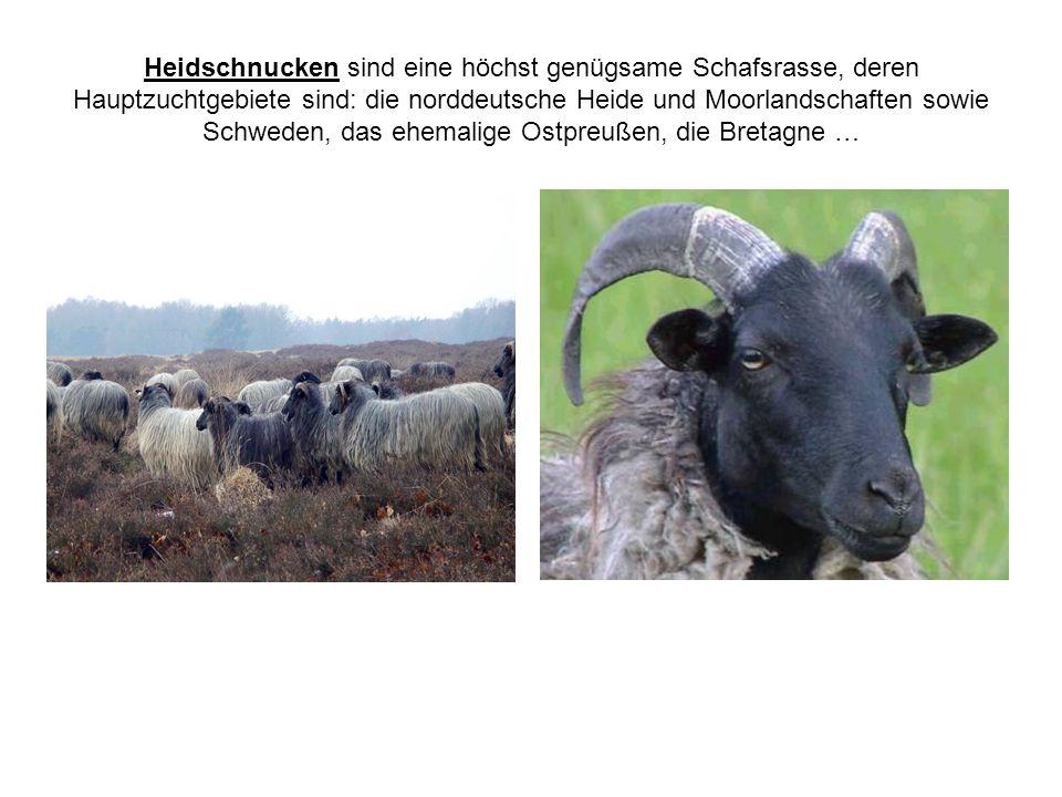 Heidschnucken sind eine höchst genügsame Schafsrasse, deren Hauptzuchtgebiete sind: die norddeutsche Heide und Moorlandschaften sowie Schweden, das eh