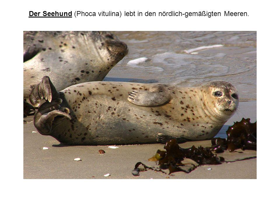 Der Seehund (Phoca vitulina) lebt in den nördlich-gemäßigten Meeren.