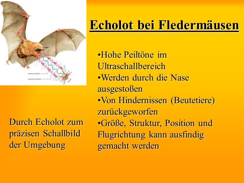 Echolot bei Fledermäusen Hohe Peiltöne im UltraschallbereichHohe Peiltöne im Ultraschallbereich Werden durch die Nase ausgestoßenWerden durch die Nase