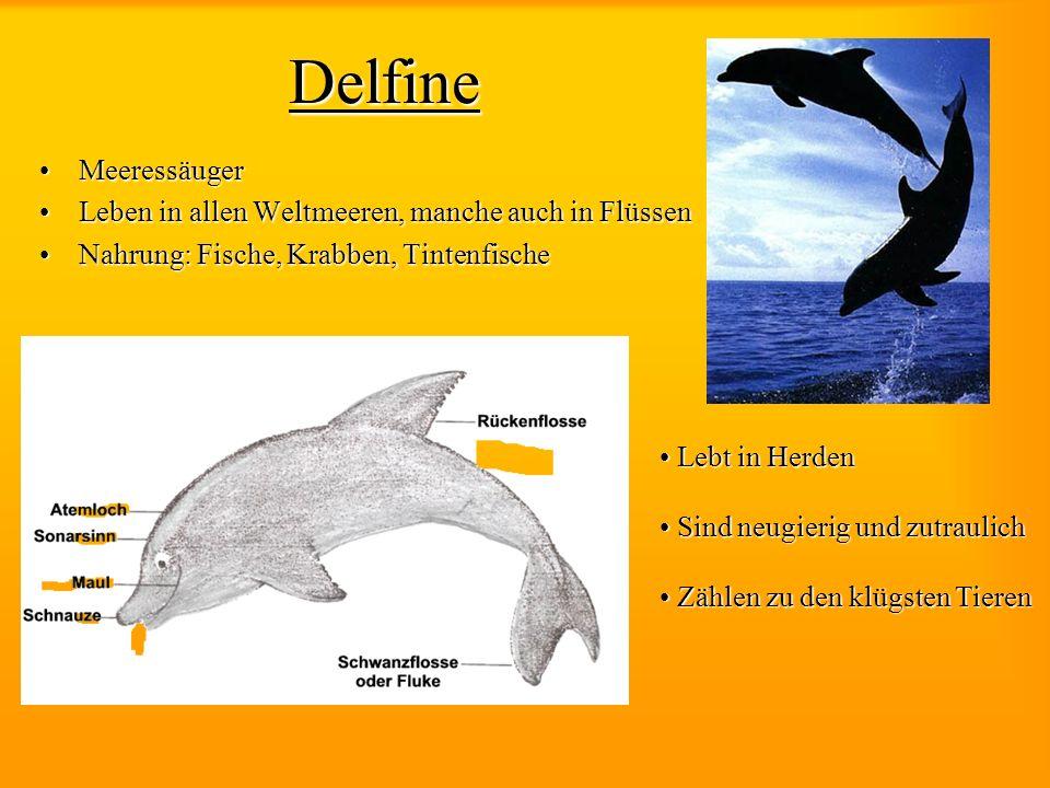 Delfine MeeressäugerMeeressäuger Leben in allen Weltmeeren, manche auch in FlüssenLeben in allen Weltmeeren, manche auch in Flüssen Nahrung: Fische, K
