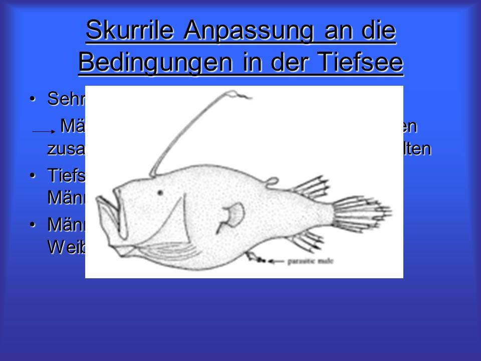 Skurrile Anpassung an die Bedingungen in der Tiefsee Sehr geringe PopulationsdichteSehr geringe Populationsdichte Männchen und Weibchen würden zu selt