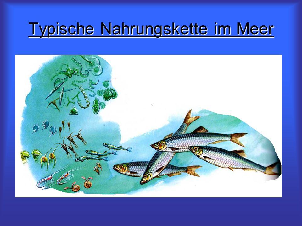 Typische Nahrungskette im Meer