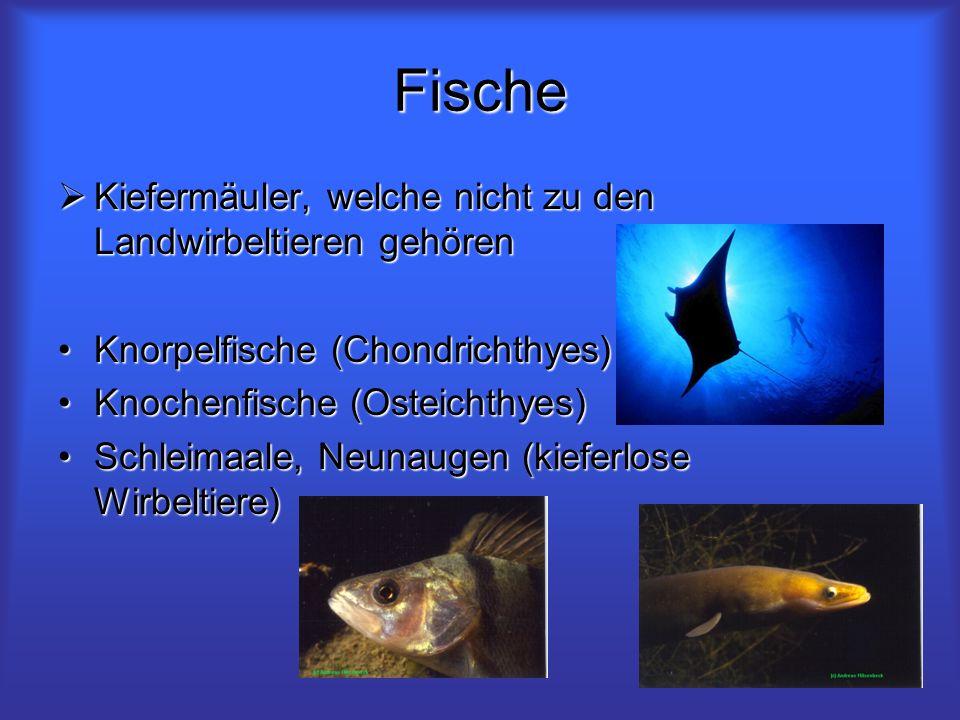 Fische Kiefermäuler, welche nicht zu den Landwirbeltieren gehören Kiefermäuler, welche nicht zu den Landwirbeltieren gehören Knorpelfische (Chondricht