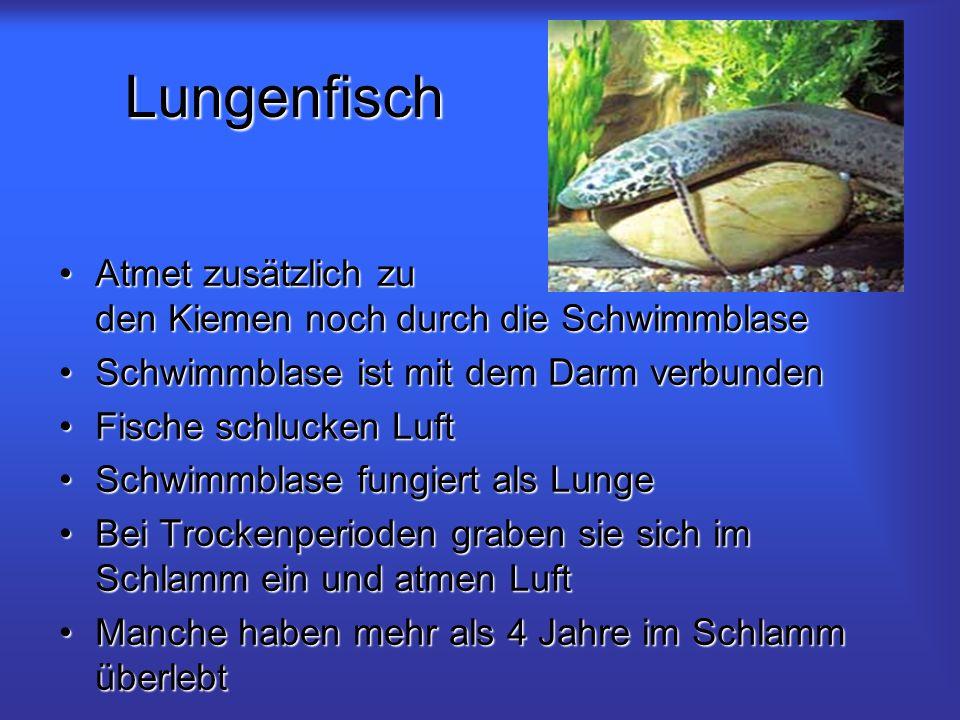 Lungenfisch Atmet zusätzlich zu den Kiemen noch durch die SchwimmblaseAtmet zusätzlich zu den Kiemen noch durch die Schwimmblase Schwimmblase ist mit