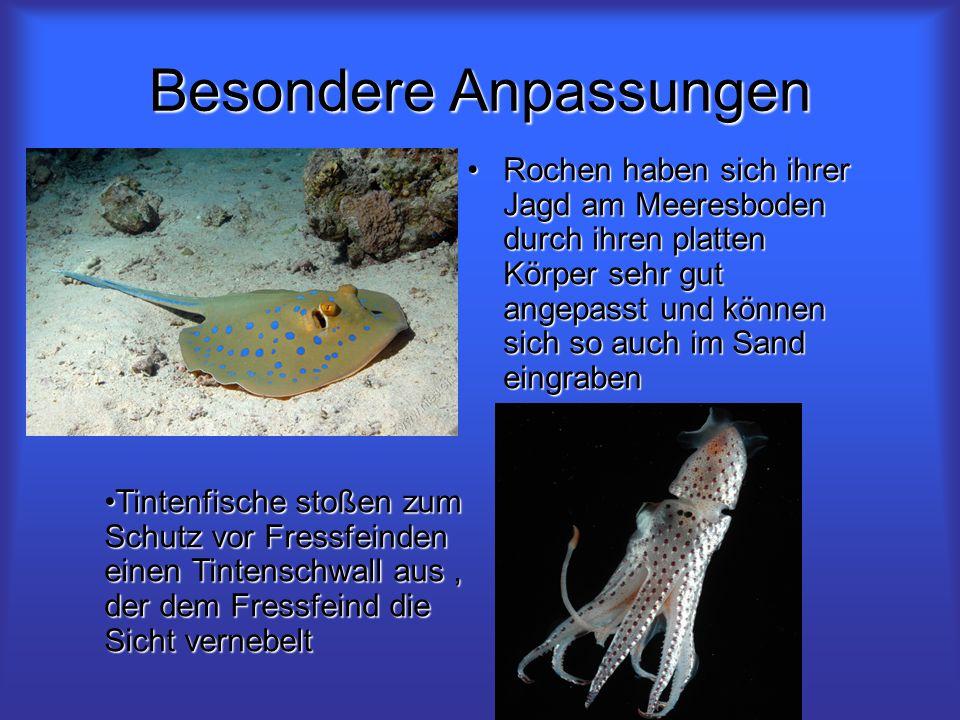 Besondere Anpassungen Rochen haben sich ihrer Jagd am Meeresboden durch ihren platten Körper sehr gut angepasst und können sich so auch im Sand eingra
