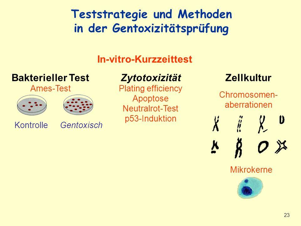 23 Teststrategie und Methoden in Gentoxizitätsprüfung In-vitro-Kurzzeittest Zytotoxizität Plating efficiency Apoptose Neutralrot-Test p53-Induktion Bakterieller Test Ames-Test Zellkultur Chromosomen- aberrationen Teststrategie und Methoden in der Gentoxizitätsprüfung KontrolleGentoxisch Mikrokerne