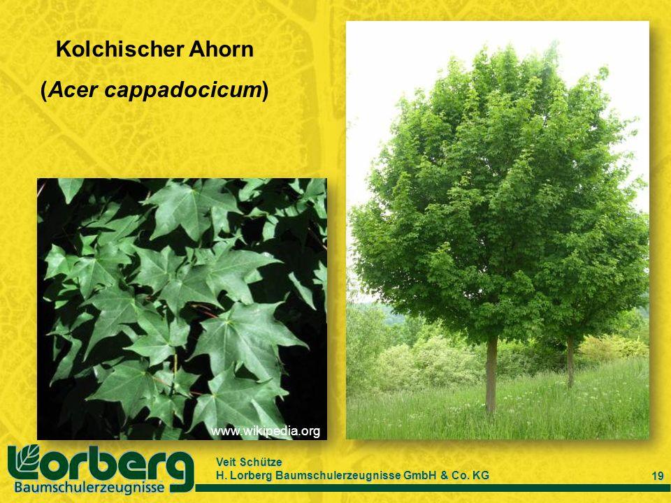 Veit Schütze H. Lorberg Baumschulerzeugnisse GmbH & Co. KG 19 Kolchischer Ahorn (Acer cappadocicum) www.wikipedia.org