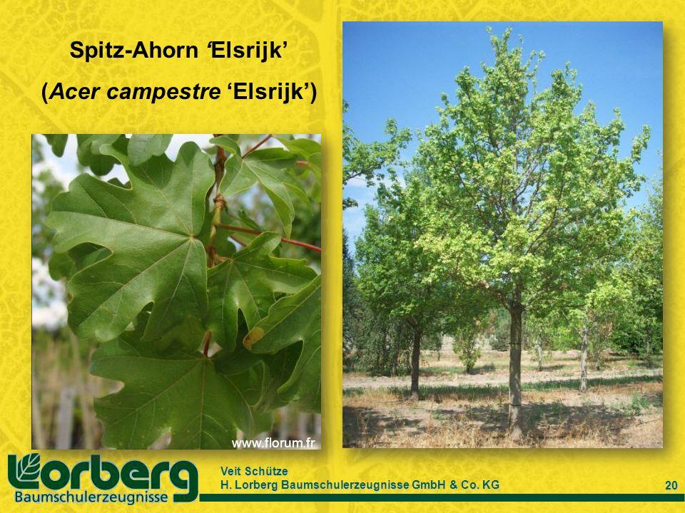 Veit Schütze H. Lorberg Baumschulerzeugnisse GmbH & Co. KG 20 Spitz-Ahorn Elsrijk (Acer campestre Elsrijk) www.florum.fr