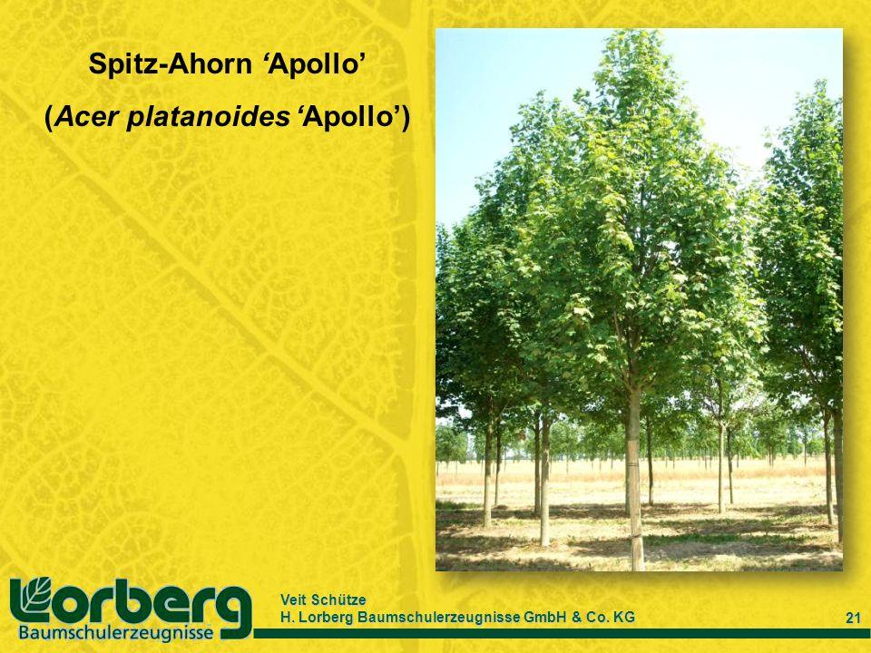 Veit Schütze H. Lorberg Baumschulerzeugnisse GmbH & Co. KG 21 Spitz-Ahorn Apollo (Acer platanoides Apollo)