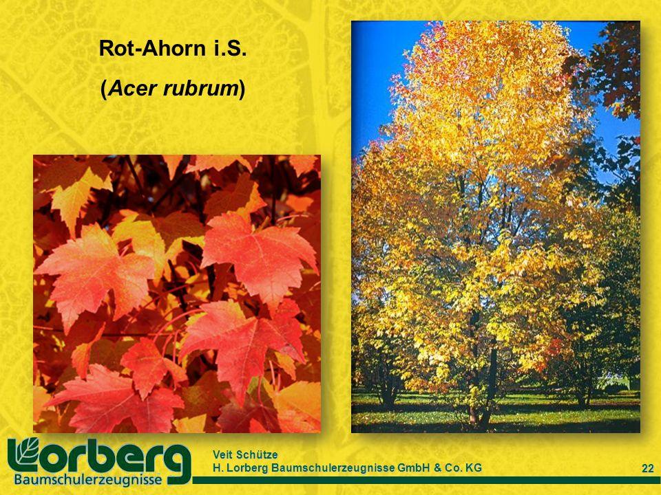 Veit Schütze H. Lorberg Baumschulerzeugnisse GmbH & Co. KG 22 Rot-Ahorn i.S. (Acer rubrum)