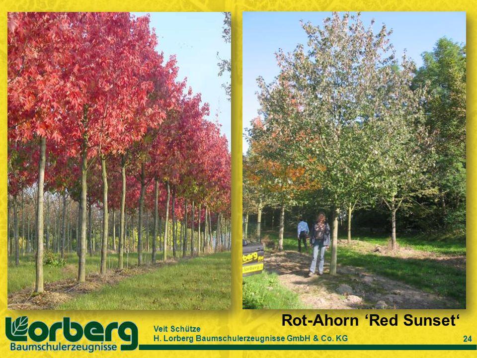 Veit Schütze H. Lorberg Baumschulerzeugnisse GmbH & Co. KG 24 Rot-Ahorn Red Sunset