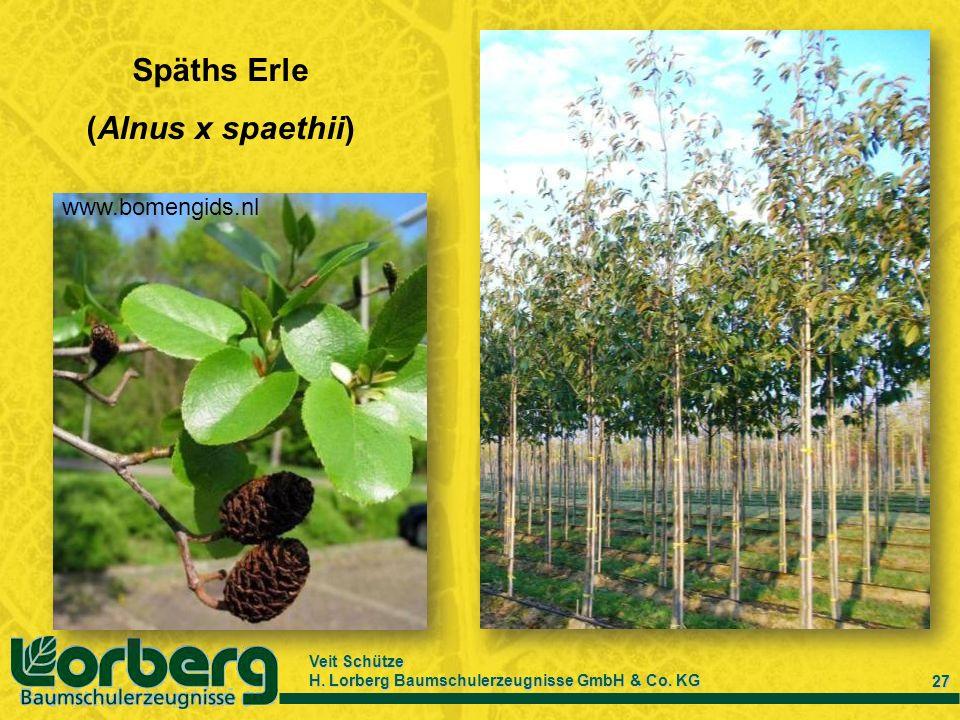 Veit Schütze H. Lorberg Baumschulerzeugnisse GmbH & Co. KG 27 www.bomengids.nl Späths Erle (Alnus x spaethii)