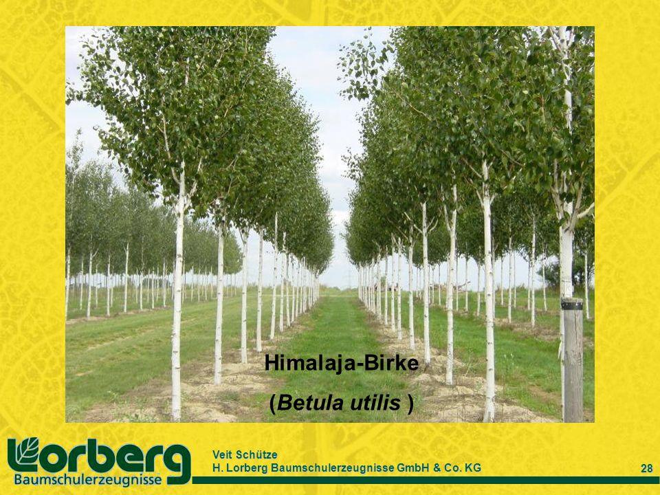Veit Schütze H. Lorberg Baumschulerzeugnisse GmbH & Co. KG 28 Himalaja-Birke (Betula utilis )