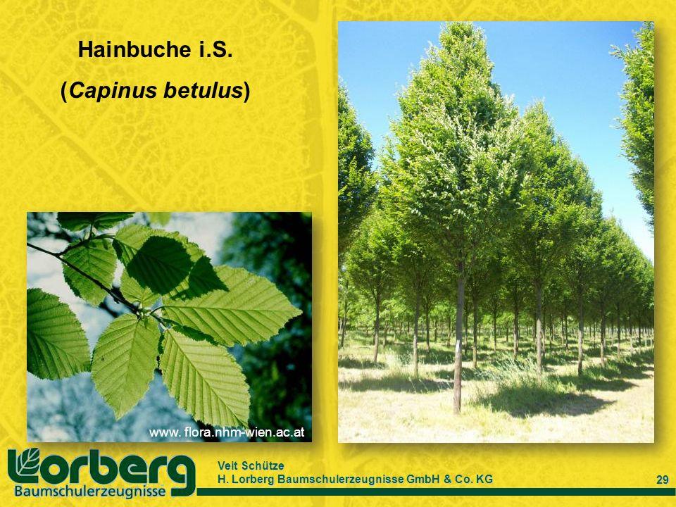 Veit Schütze H. Lorberg Baumschulerzeugnisse GmbH & Co. KG 29 Hainbuche i.S. (Capinus betulus) www. flora.nhm-wien.ac.at