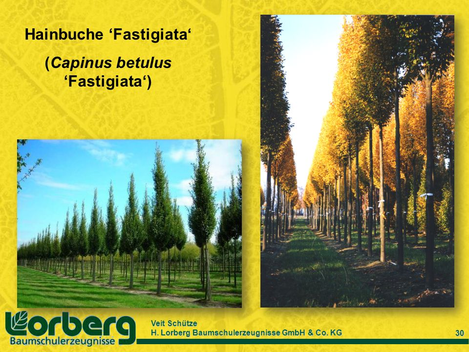 Veit Schütze H. Lorberg Baumschulerzeugnisse GmbH & Co. KG 30 Hainbuche Fastigiata (Capinus betulus Fastigiata)