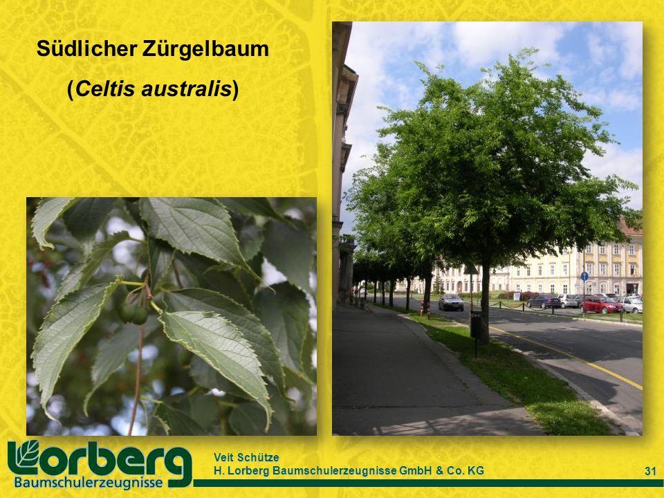 Veit Schütze H. Lorberg Baumschulerzeugnisse GmbH & Co. KG 31 Südlicher Zürgelbaum (Celtis australis)