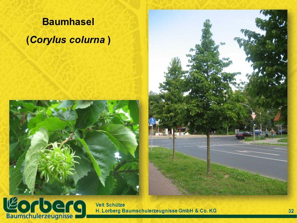 Veit Schütze H. Lorberg Baumschulerzeugnisse GmbH & Co. KG 32 Baumhasel (Corylus colurna )