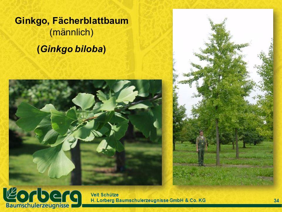 Veit Schütze H. Lorberg Baumschulerzeugnisse GmbH & Co. KG 34 Ginkgo, Fächerblattbaum (männlich) (Ginkgo biloba)